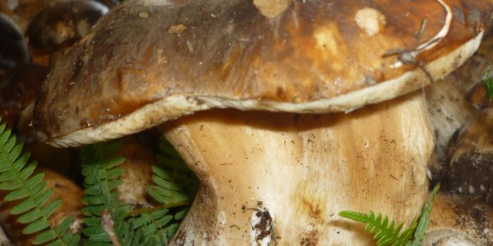Funghi Porcini Sila